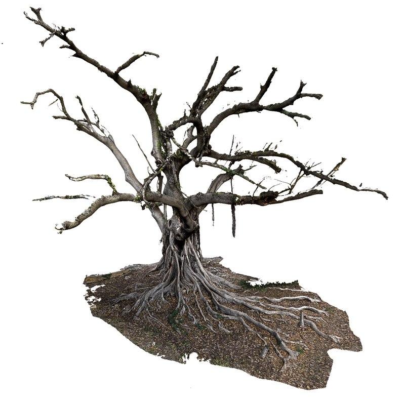 big tree old ficus 3D model