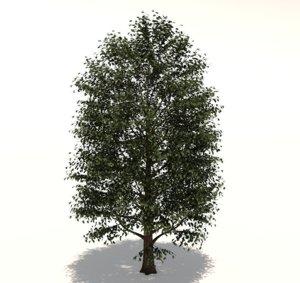 3D carolina poplar tree model