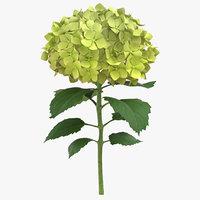 hydrangea green - model