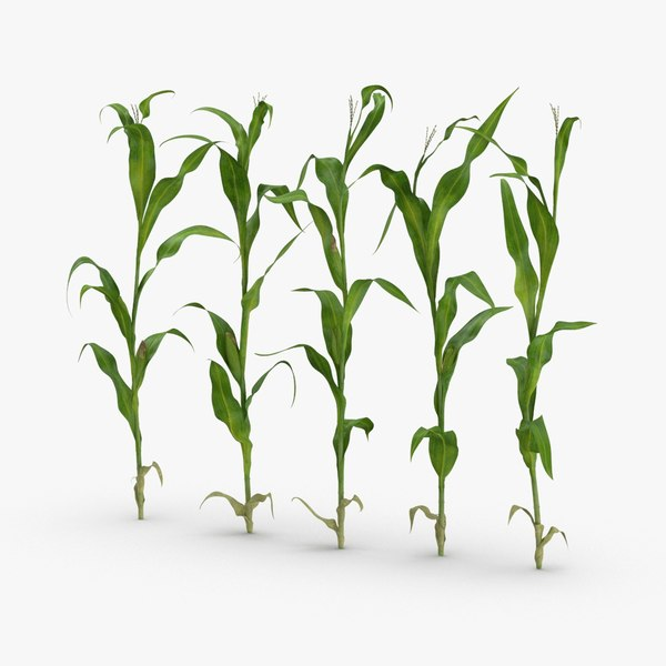 3D corn-stalks-and-patch---row model