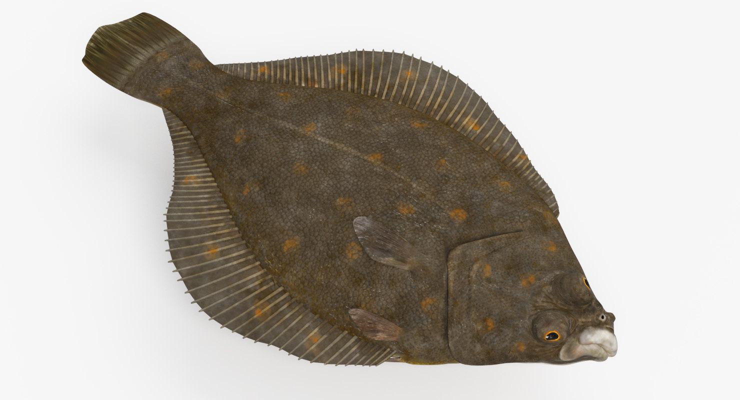 flatfish animation 3D model