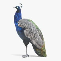 3D indian peafowl