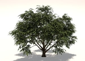 cornus tree model