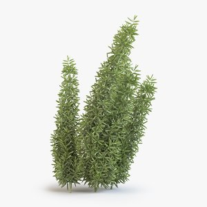 asparagus fern 3D