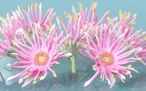 3D barberton daisy gerbera