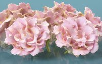 carnation clove pink 3D model
