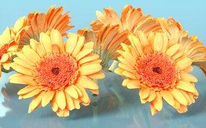 barberton daisy gerbera model