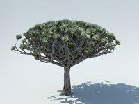 Socotra Dragon Blood Tree
