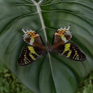 3D madagascan sunset moth