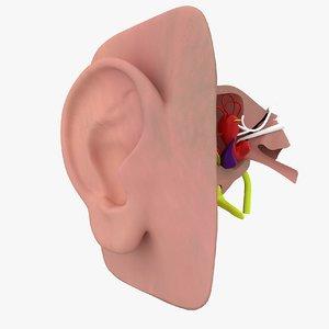 inner ear model
