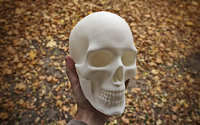 anatomically correct human skull 3D