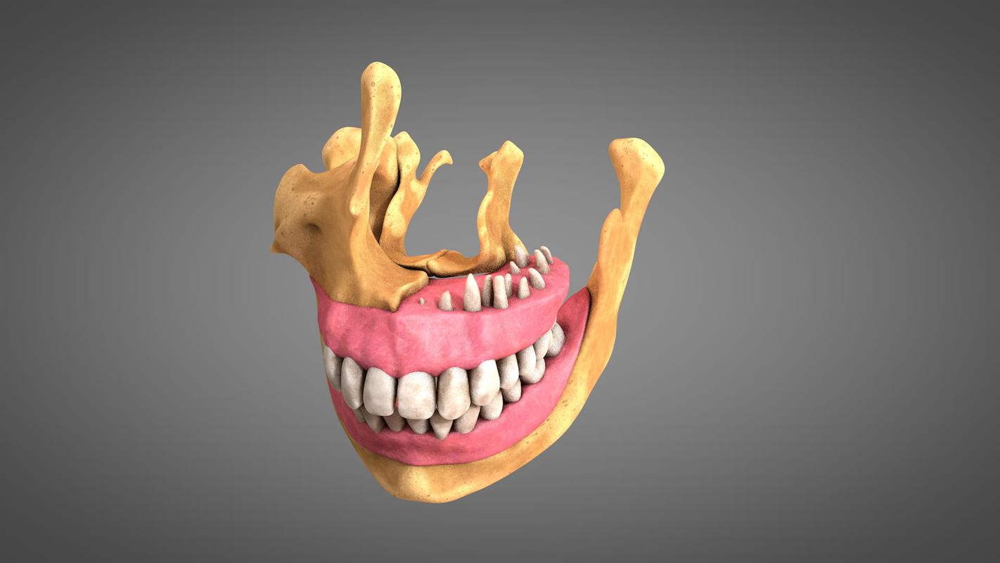 3D human teeth gums model