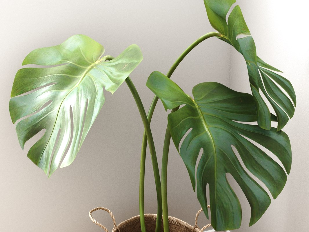 3D model monstera large leaves