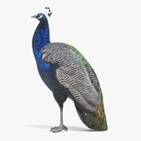 3D indian peafowl