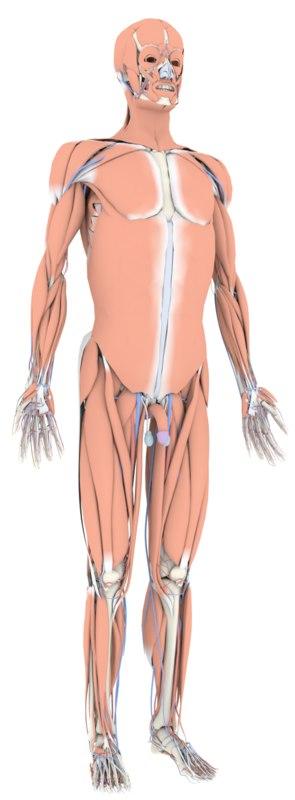 human body complete anatomy 3D model