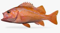 canary rockfish sebastes pinniger 3D
