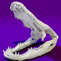 Aligator Skull