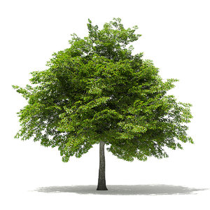 3D model scotch elm