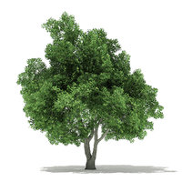 champion oak 10 5m 3D model