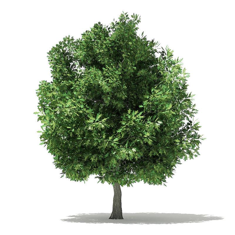 champion oak quercus 3D model