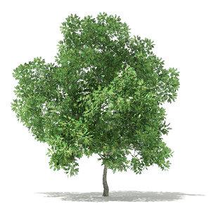 3D champion oak quercus