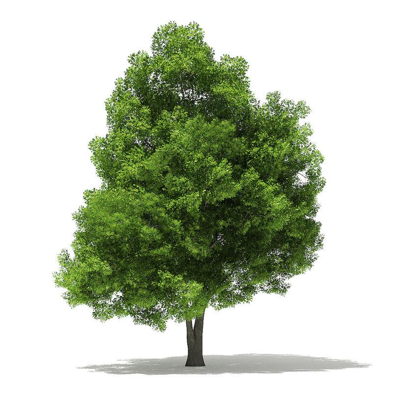 pin oak 19 5m 3D model