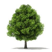 pin oak 13 6m 3D