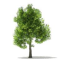 pin oak 7m 3D model