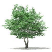 Tulip Tree 3D Model 7m