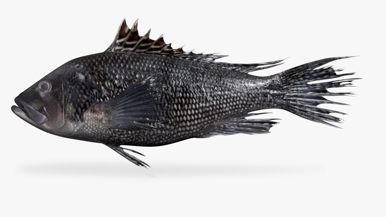 black sea bass 3D
