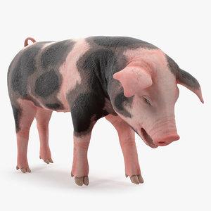 3D pig piglet pietrain standing