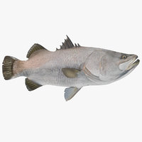 Barramundi or Lates Calcarifer Fish 3D Model