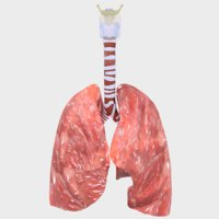 respiratory tract 3D model