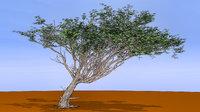 Acacia 02