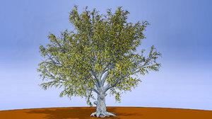 american beech tree 3D model