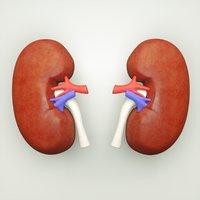 3D kidney human anatomy