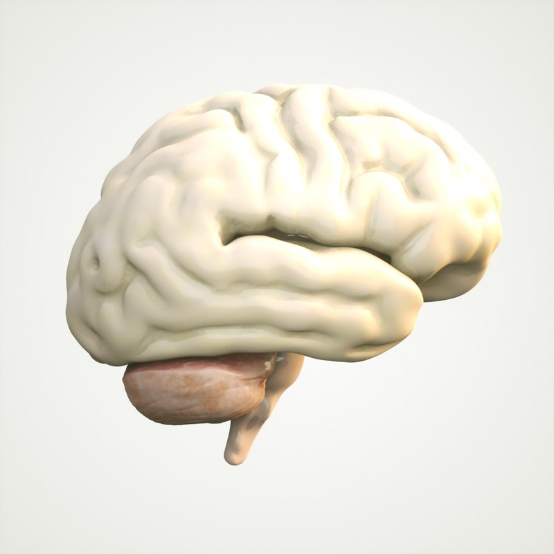 3D brain human anatomy model