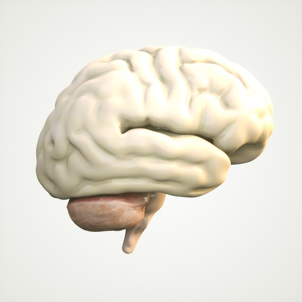 3D brain human anatomy model