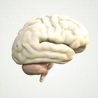 Brain Human Anatomy