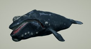 right whale animation 3D