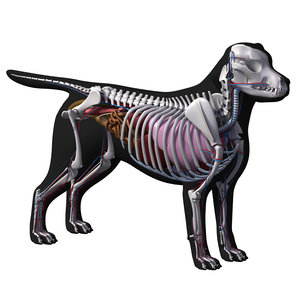 3D dog anatomy labrador model