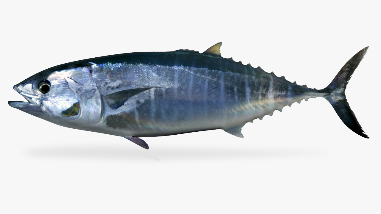 bluefintuna tuna 3D model