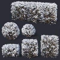 Cotoneaster lucidus # 7 winter hedge set