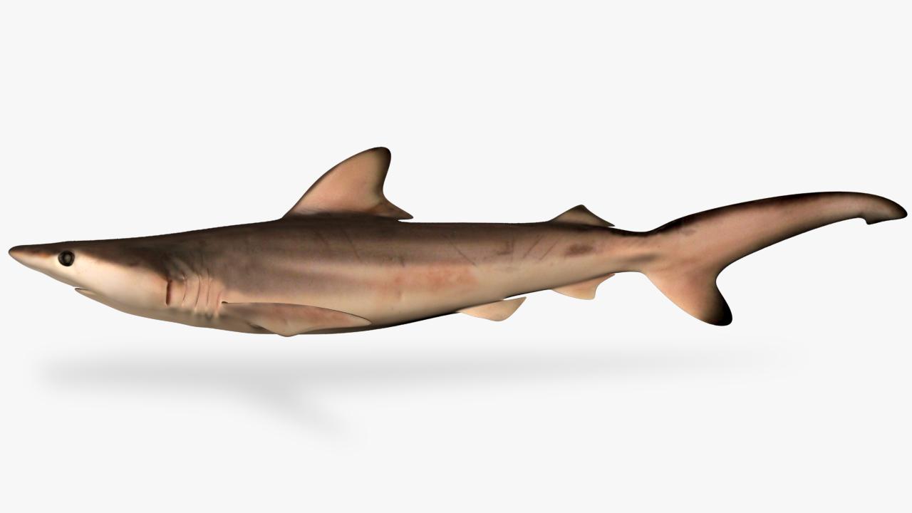carcharhinus limbatus blacktip shark 3D model