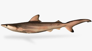 carcharhinus limbatus blacktip shark 3D model