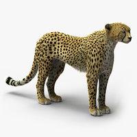Cheetah 2 (RIGGED) (FUR)