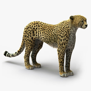 cheetah rigged fur ma