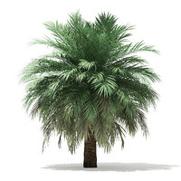 butia palm tree 4m 3D model