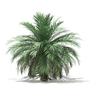 butia palm tree 3D
