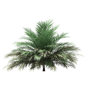 3D butia palm tree 2m model